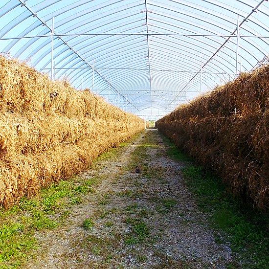落花生は収穫後1ヶ月半天日干しされます