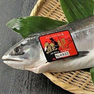 【予約販売】知床産鮭児(ケイジ)生冷凍半身 800g〜890g