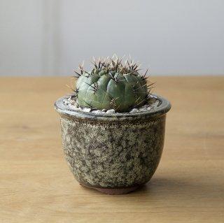 [一点もの] 〈植物〉極美丸 + 〈鉢〉常滑焼 燿山陶苑 深縁付尻丸(生子釉薬)