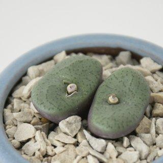 [一点もの] 〈植物〉クラベレンゼ + 〈鉢〉常滑焼 燿山陶苑 丸切立(均窯釉薬)