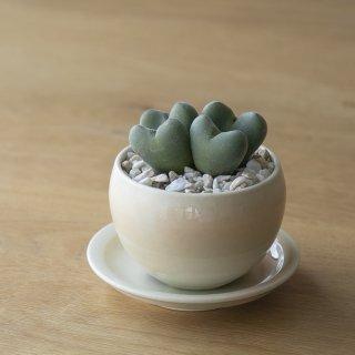 [一点もの] 〈植物〉ルイザエ + 〈鉢〉常滑焼 三好史織作 釉薬鉢 丸型(サンリットオリジナル商品)