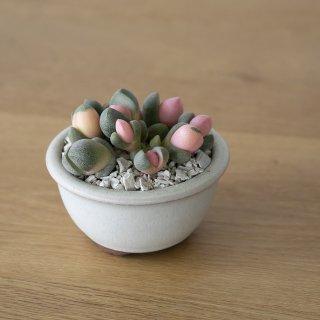 [一点もの] 〈植物〉令和の桃子 + 〈鉢〉常滑焼 燿山陶苑 丸浅鉢