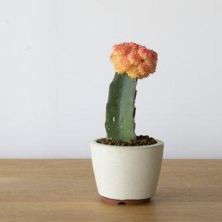 [一点もの] 〈植物〉ヒボタン(赤) + 〈鉢〉常滑焼 燿山陶苑 丸切立
