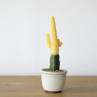 [一点もの] 〈植物〉ヒボタン(黄) + 〈鉢〉常滑焼 燿山陶苑 丸切立