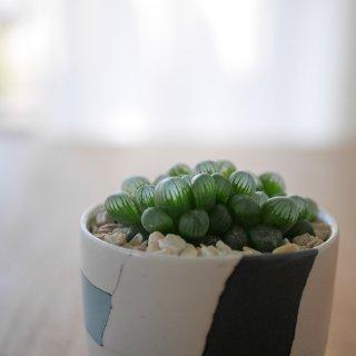 [一点もの] 〈植物〉オブツーサ + 〈鉢〉常滑焼 伊藤雄志作 練込盛鉢皿付