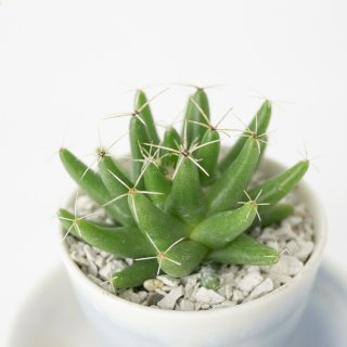 [一点もの] 〈植物〉金星 + 〈鉢〉常滑焼 三好史織作 釉薬鉢 極小(サンリットオリジナル)