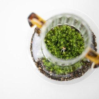 [一点もの] 〈植物〉ホソバシラガゴケ + 〈ベイス〉アデラ ガラスベイス 12Y