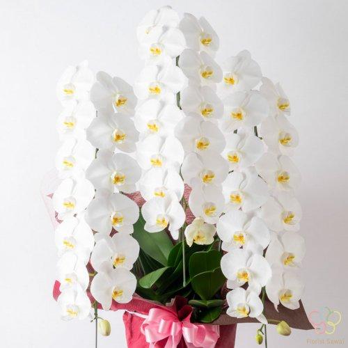 【お祝いの気持ちを華やかに伝える一品】3本立胡蝶蘭 36〜45輪程度(つぼみ含む)※名札無料