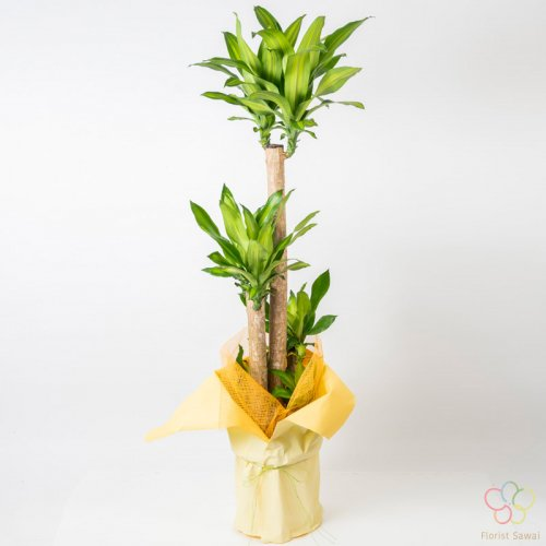 【幸福の木】ドラセナ・マッサンゲアナ ※ラッピング・名札無料