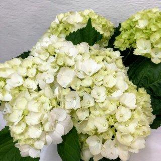 季節のお花 アジサイ ホワイト
