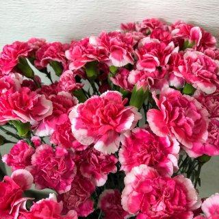 季節のお花 カーネーション 濃ピンク