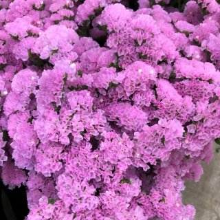 季節のお花 スターチス ピンク
