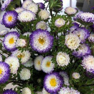 季節のお花 アスター 紫