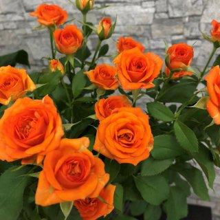 季節のお花 SPバラ オレンジ