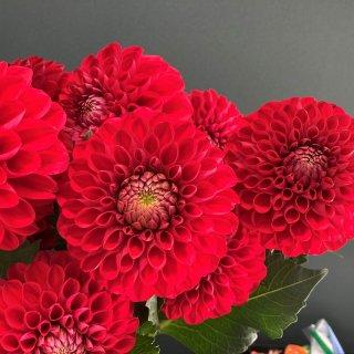 季節のお花 ダリア