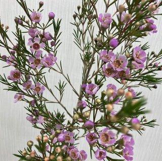 季節のお花 ワックスフラワー ピンク