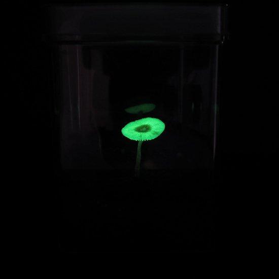 光るきのこ ヤコウタケ栽培キット
