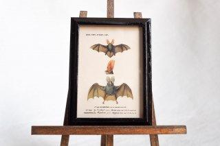 【Atelier de MIOMORI】ちいさな博物画_ Bat ウサギコウモリ)2 ブラック